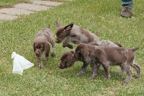 german shorthaired pointers pups & started dogs