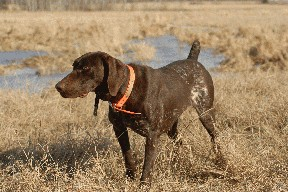 German Shorthaired Pointer - Willow