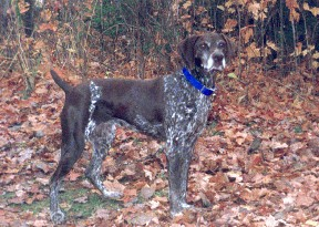 German Shorthair Pointer - Belle