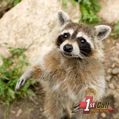Raccoon Damage Cleanup in Cincinnati Area