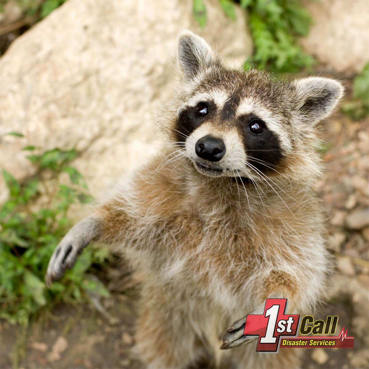 Raccoon Damage Repair in Lakeside Park, KY