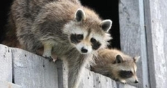 How to Best Remove Raccoons From Your Home or Office And Repair the Damage They Leave Behind