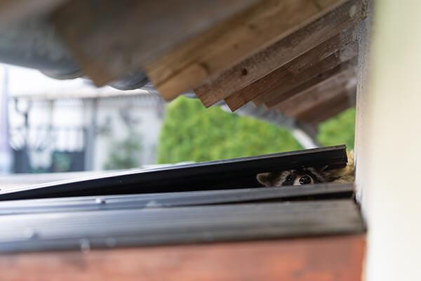 Raccoon Damage Repair in Florence, KY
